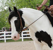 gypsy vanner horse for you now!!!!!!!!!!!!!!!!!!!!!!!!